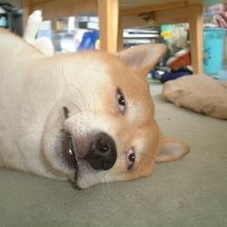 유명한 강아지 짤 눈빛 합성 귀차니즘
