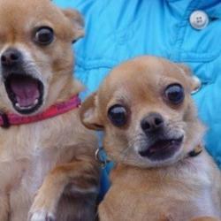 강아지 놀라는 표정 개깜놀 두마리 깜짝이야 동물