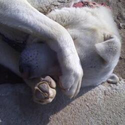강아지 부끄러운 모습 눈가린 동물